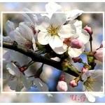 Apfelblüte x